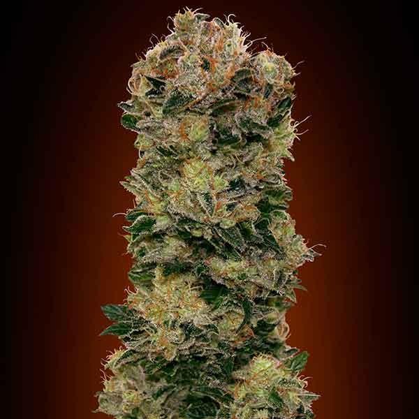 Auto Sweet Soma - 5 seeds - 00 Seeds
