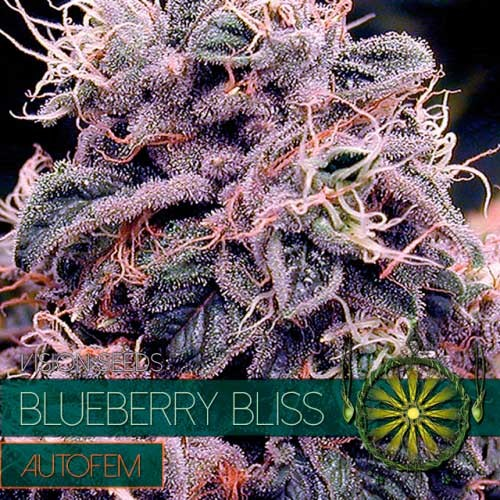 BLUEBERRY BLISS AUTO - VISION SEEDS