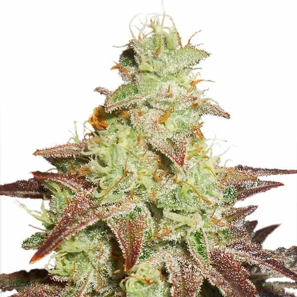 Durban Poison Reg  - DUTCH PASSION - WORLD OF SEEDS