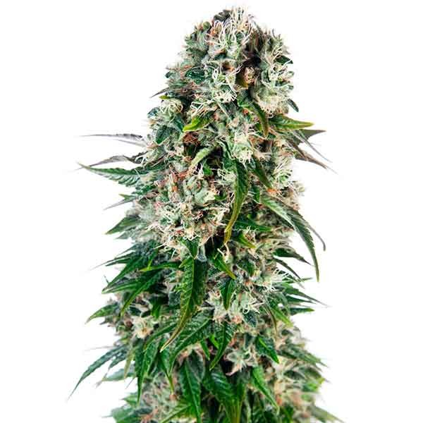 Big Bud Automatic - SENSI SEEDS