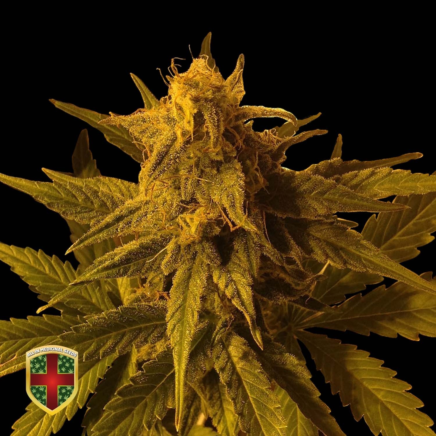 BIG MARLEY AUTO - 1 UND. FEM - ALL IN MEDICINAL - ALL-IN MEDICINAL SEEDS