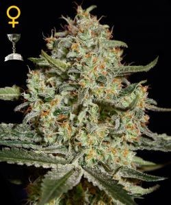 BIG BANG - Feminized - GREENHOUSE