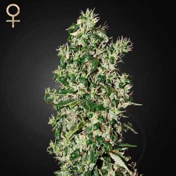 Big Tooth (Strain Hunters) - Feminized - GREENHOUSE