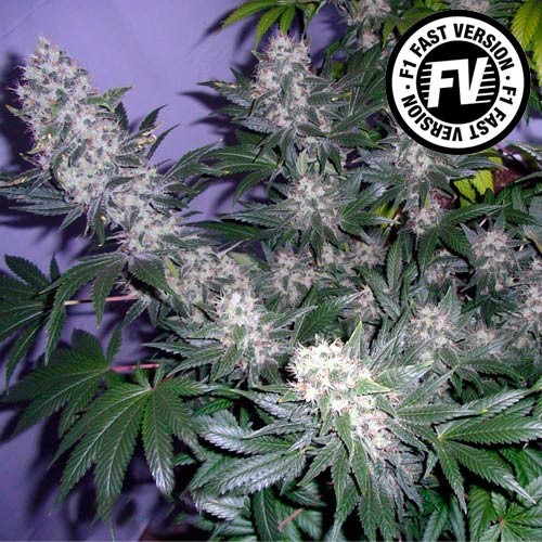 BLACK JACK FAST VERSION - Fast Version - SWEET SEEDS