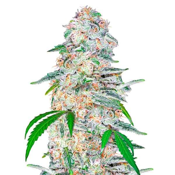Blue Dream´matic - FastBuds