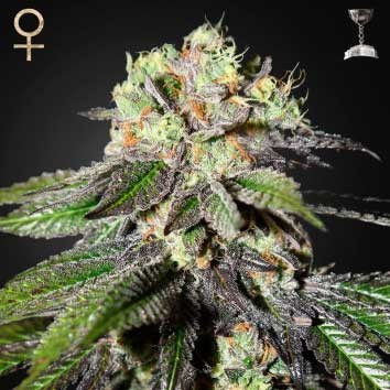 Caboose (Strain Hunters) - Feminized - GREENHOUSE