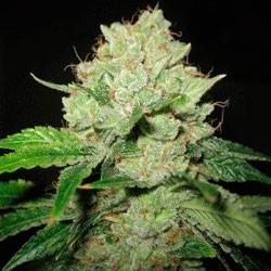 Cal-Train Wreck  - 5 seeds - Sagarmatha