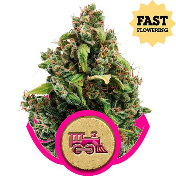 Candy Kush Express (Fast Flowering) - ROYAL-QUEEN SEEDS