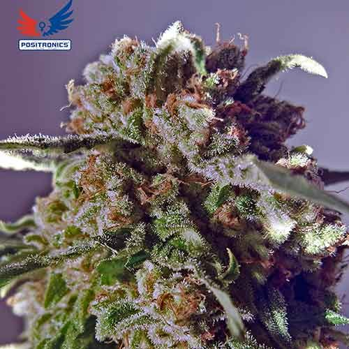 CBD Black Widow - POSITRONICS SEEDS