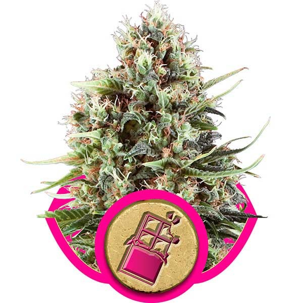 Chocolate Haze - ROYAL-QUEEN SEEDS