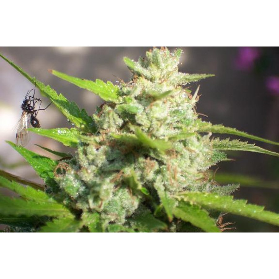 1 UND - JAWAR - FEM (BIOHAZARD SEEDS) - PICK & MIX SEEDS