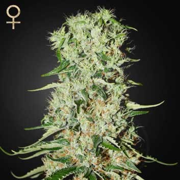Damnesia (Strain Hunters) - Feminized - GREENHOUSE