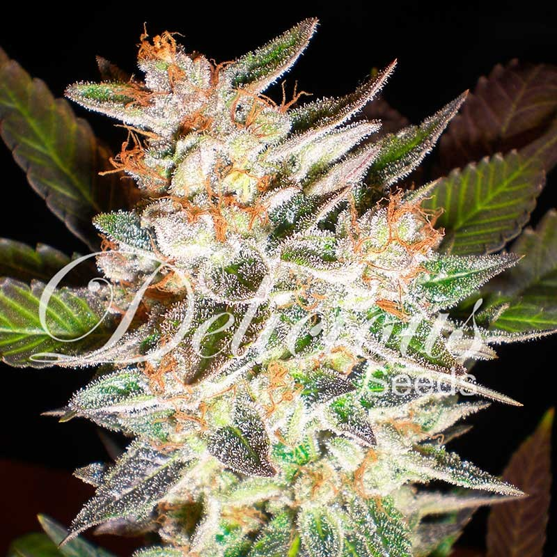DELICIOUS CANDY AUTO - AUTOFLOWERING SEEDS - DELICIOUS SEEDS