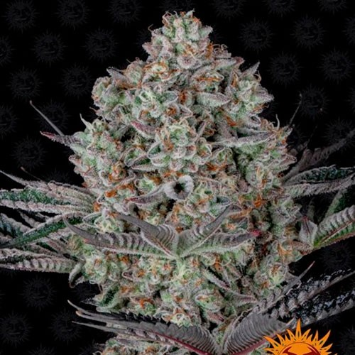 Do Si Dos 33 - Feminized - BARNEY'S FARM