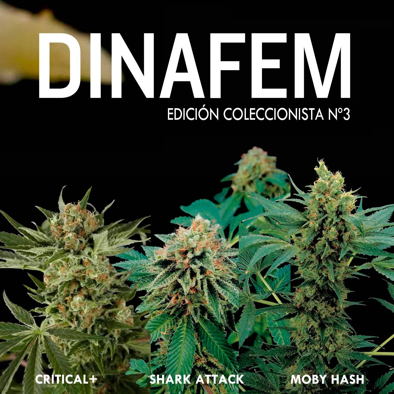 Dinafem collector #3 6 seeds
