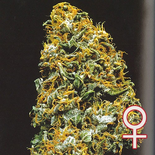 Cristal Paradise - 5 seeds - KC Brains