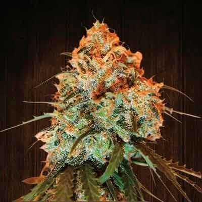 Golden Tiger regular - 5 seeds - Ace Seeds