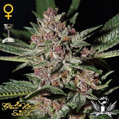BUBBA KUSH - Feminized - GREENHOUSE