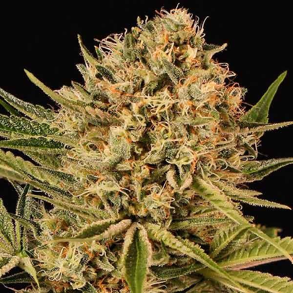 HERZ OG - Exotic Seed