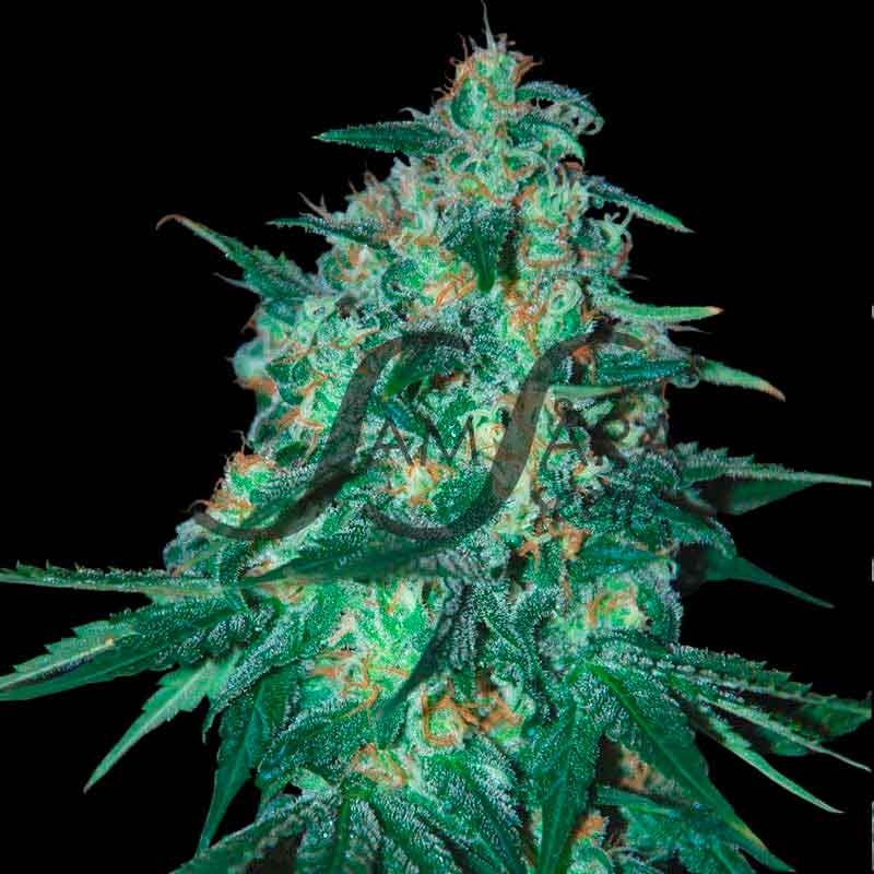 JEKYLL PASSION  - FEMINIZED - SAMSARA SEEDS