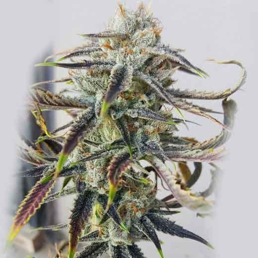 Jenny Kush  - 12 seeds - Rare Dankness