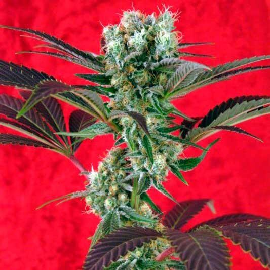 Kalijah - Reggae Seeds
