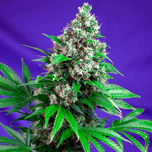 Killer Kush Fast Version - Fast Version - SWEET SEEDS