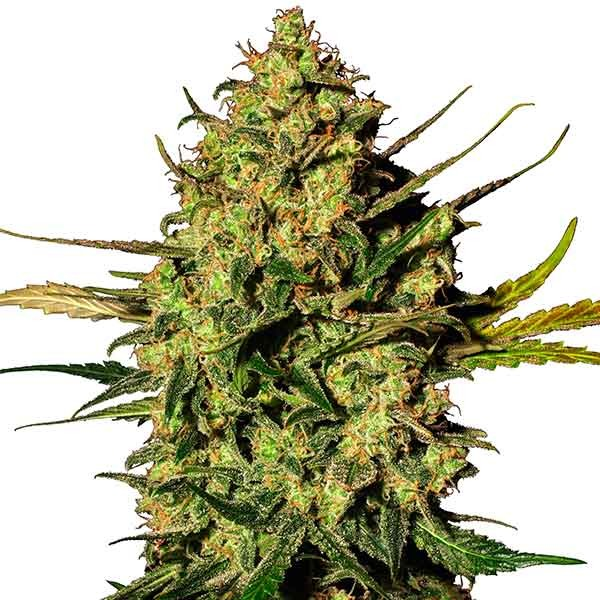 Master Kush Automatic (White Label) - Automatic - SENSI SEEDS