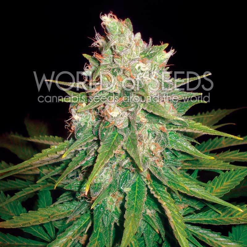 Mazar x Great White Shark - MEDICAL COLLECTION - WORLDOFSEEDS