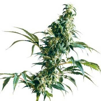 Mexican Sativa Fem - Feminized - SENSI SEEDS