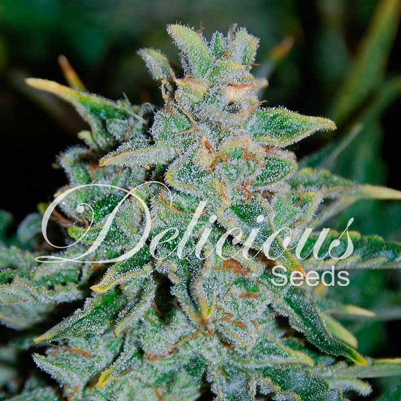 NORTHERN LIGHT BLUE AUTO  - AUTOFLOWERING SEEDS - DELICIOUS SEEDS