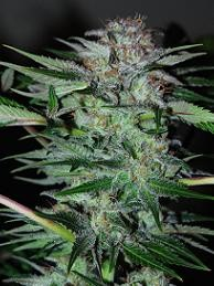 NORTHERN DWARF AUTO - 3 UNDS (PROFESSIONAL) - Autoflower - PROFESSIONAL SEEDS