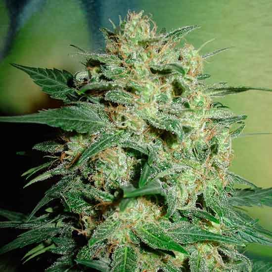 Northern Light  - 5 seeds - Fantaseeds