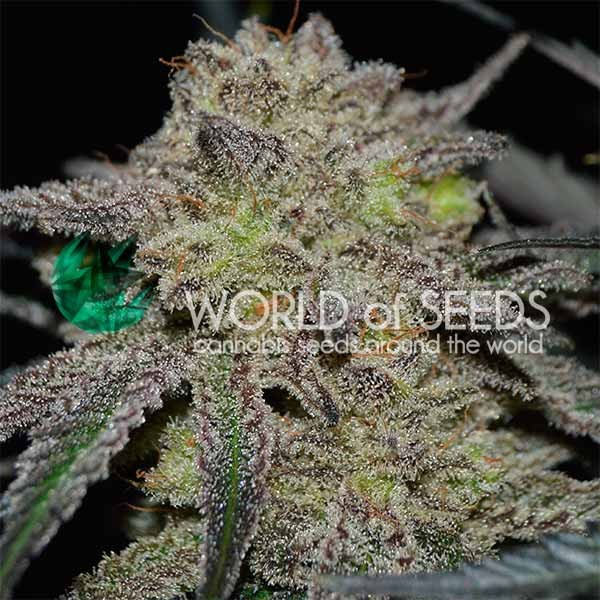 Tonic Ryder - CBD COLLECTION - WORLDOFSEEDS