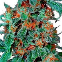 ORANGE BUD REG