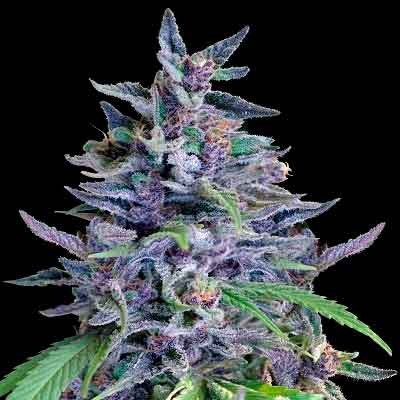 Orient Express  - Ace Seeds