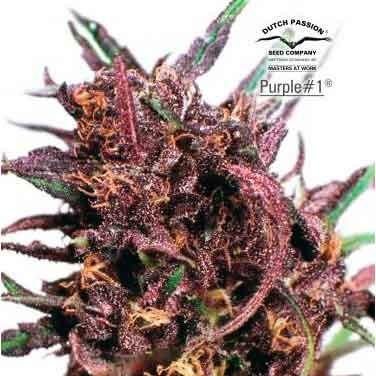 Purple #1 Regular