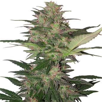 Red Dwarf Regular - BUDDHA SEEDS