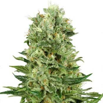 SKUNK #1 AUTOMATIC (WHITE LABEL) - Automatic - SENSI SEEDS