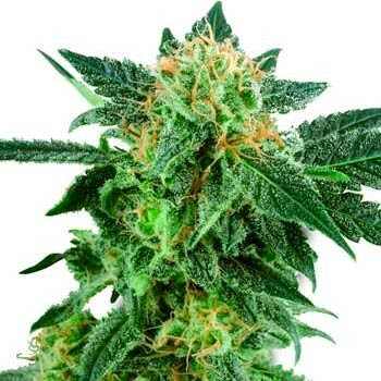 SNOW RYDER AUTOMATIC (WHITE LABEL) - Automatic - SENSI SEEDS
