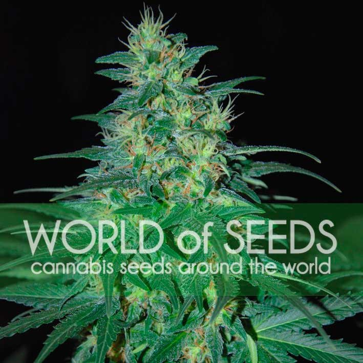 South African Kwazulu - PURE ORIGIN COLLECTION - WORLDOFSEEDS