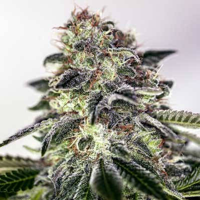 Sticky Dream Express - 5 seeds