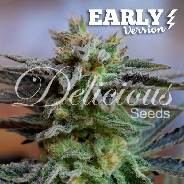 SUGAR BLACK ROSE EARLY VERSION