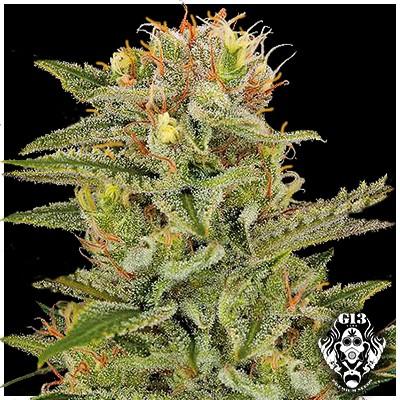SWEET AMNESIA - 5 seeds