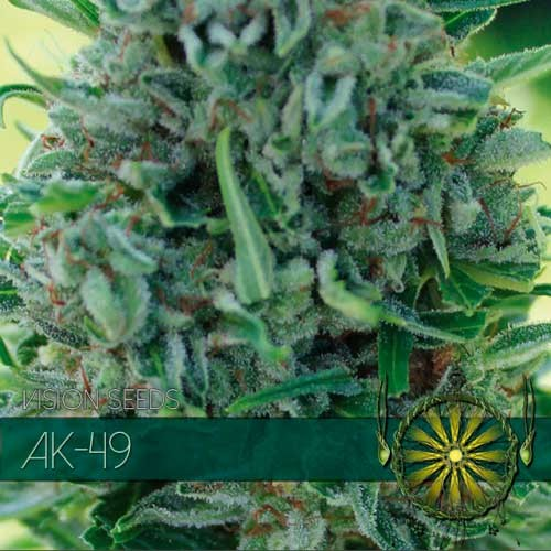 AK-49 AUTO - VISION SEEDS