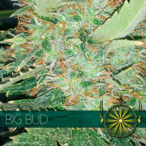 BIG BUD - VISION SEEDS