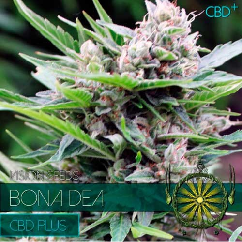 BONA DEA CBD+ - VISION SEEDS