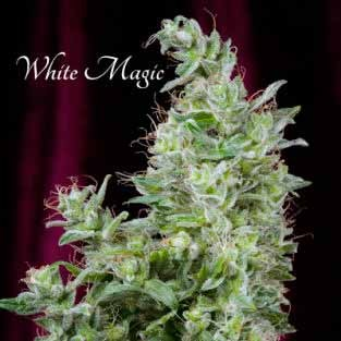 White Magic  - Mandala Seeds