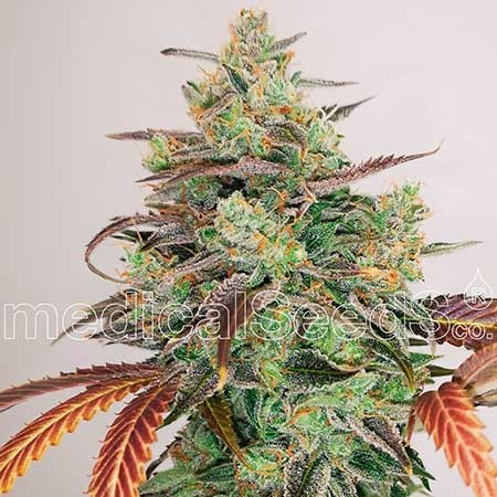 Y Griega CBD 2.0 - MEDICAL SEEDS