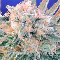 Purchase AUTO BLUEBERRY GHOST OG